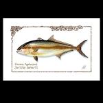 Amberjack watercolor print