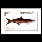 Cobia watercolor print