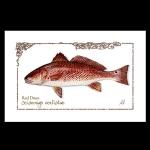 Redfish watercolor print