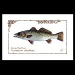 Spotted Sea Trout watercolor print